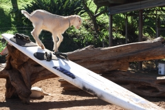 Surfing Goat Dairy Farm
